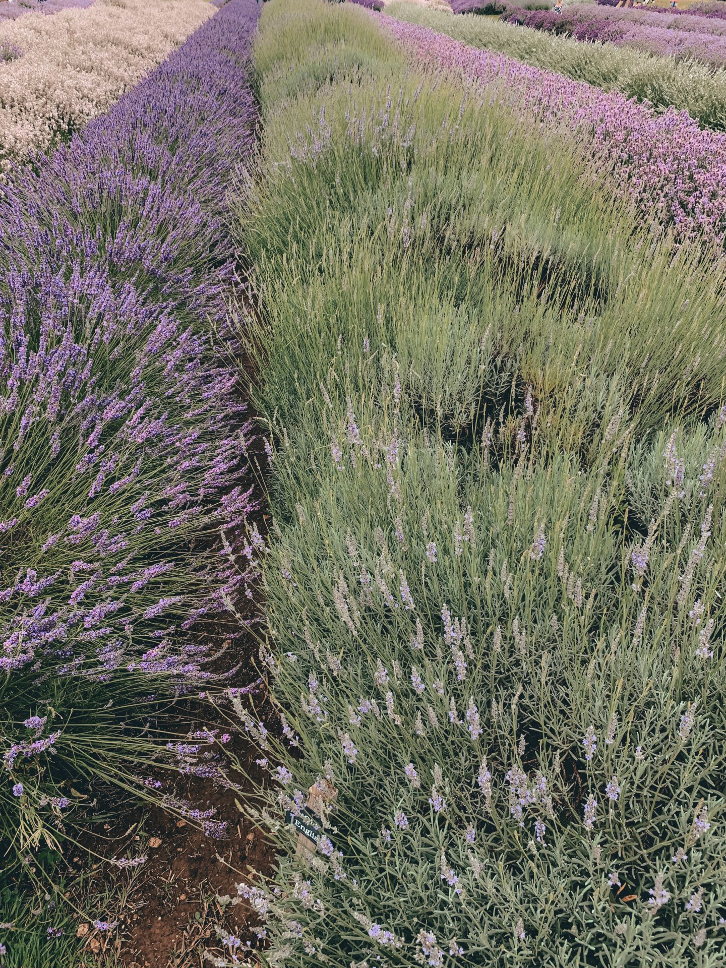 COTSWOLD'S LAVENDER FIELDS